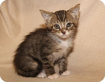Domestic Shorthair Kitten for adoption in Marietta, Ohio - Bobby (Bella's Kitten)