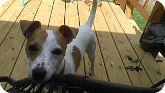 Jack Russell Terrier Mix Puppy for adoption in Blue Bell, Pennsylvania - Gabby