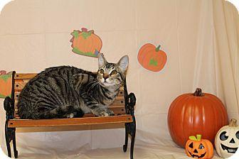 Domestic Shorthair Cat for adoption in Stockton, California - Lilith