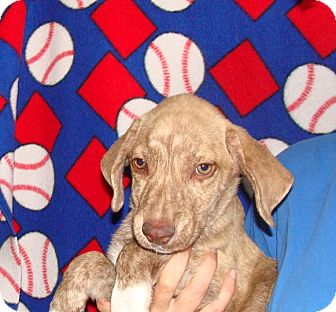 Plott Hound/Labrador Retriever Mix Puppy for adoption in Oviedo, Florida - Vegabond