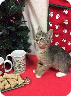 Domestic Shorthair Kitten for adoption in Moody, Alabama - Bitsy