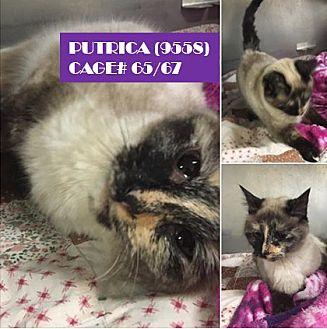 Siamese Cat for adoption in Flint, Michigan - PUTRICIA
