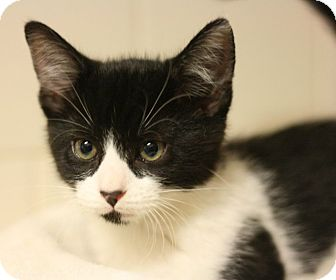 Domestic Mediumhair Kitten for adoption in Canoga Park, California - Panda