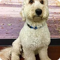 Adopt A Pet :: Buddy Love - Encino, CA