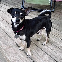 Chihuahua Dog for adoption in Garland, Texas - Hardie (JH)