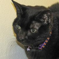 Domestic Shorthair/Domestic Shorthair Mix Cat for adoption in Woodstock, Illinois - Ash