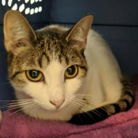 Domestic Shorthair/Domestic Shorthair Mix Cat for adoption in Ithaca, New York - Ellen Ripley 22397-c