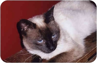 Siamese Cat for adoption in Owatonna, Minnesota - Slicker