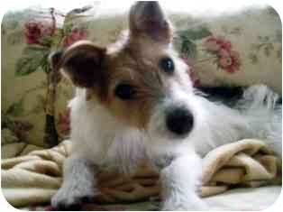 Jack Russell Terrier Dog for adoption in Osseo, Minnesota - Cody