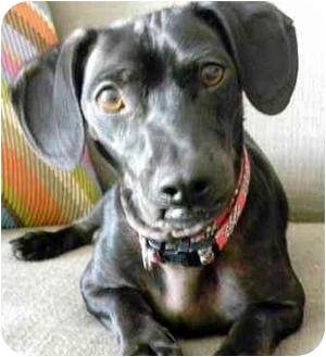 Dachshund Mix Dog for adoption in petaluma, California - Milo