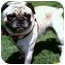 Photo 1 - Pug Dog for adoption in Los Angeles, California - Vino