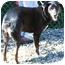 Photo 2 - Australian Shepherd/Labrador Retriever Mix Dog for adoption in Toronto/Etobicoke/GTA, Ontario - Cheyenne