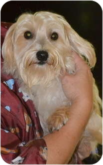 Yorkie, Yorkshire Terrier/Maltese Mix Dog for adoption in Greensboro, North Carolina - Bartley