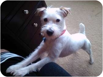 Jack Russell Terrier Dog for adoption in Dallas/Ft. Worth, Texas - Bronx in Dallas