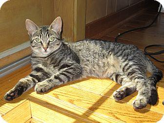 Domestic Shorthair Cat for adoption in Lafayette, California - Lexi