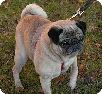 Pug Dog for adoption in Rigaud, Quebec - Sweetie