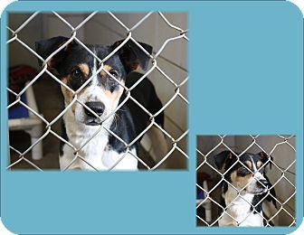 Rat Terrier Mix Dog for adoption in Haughton, Louisiana - BCAC Rat Terrier mix