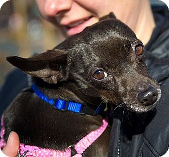 Chihuahua Dog for adoption in Berkeley, California - Rosa **URGENT**