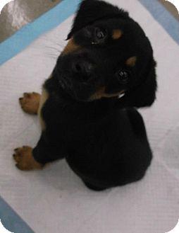 Dachshund/Beagle Mix Puppy for adoption in Cincinnati, Ohio - Shadow