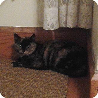 Calico Kitten for adoption in Sterling, Massachusetts - Cally