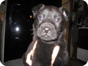 Labrador Retriever Mix Puppy for adoption in Rocky Mount, North Carolina - Ryne