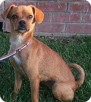 Tibetan Spaniel/Terrier (Unknown Type, Small) Mix Dog for adoption in Long Beach, California - CINNAMON