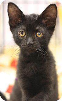 Domestic Shorthair Kitten for adoption in Sacramento, California - Kristoff