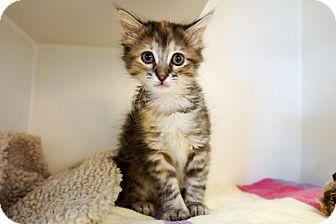 Domestic Mediumhair Kitten for adoption in Houston, Texas - Isa