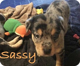 Labrador Retriever Mix Puppy for adoption in Salem, Massachusetts - Sassy
