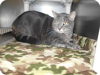 Domestic Shorthair Cat for adoption in Jackson, New Jersey - Bono