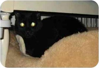 American Shorthair Cat for adoption in Tualatin, Oregon - Black Jack