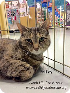 Domestic Shorthair Cat for adoption in Oakville, Ontario - Fritzy