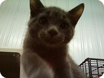 Domestic Shorthair Kitten for adoption in Detroit Lakes, Minnesota - Abner