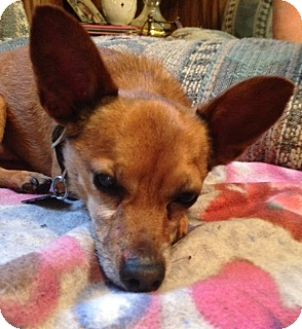 Chihuahua Mix Dog for adoption in Tyndall, South Dakota - Bruno