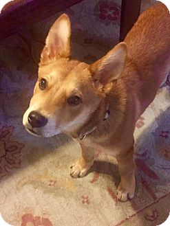 Corgi/Sheltie, Shetland Sheepdog Mix Puppy for adoption in knoxville, Tennessee - BANJO