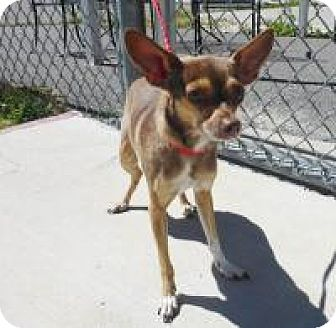 Chihuahua/Toy Fox Terrier Mix Dog for adoption in Seattle, Washington - Latte