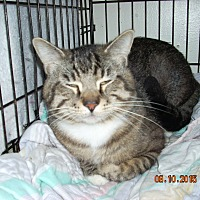 Domestic Shorthair Cat for adoption in HAMMOND, Oregon - ROCKY ROAD