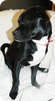Boston Terrier Mix Dog for adoption in Umatilla, Florida - Bandit