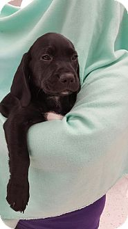 Labrador Retriever Mix Puppy for adoption in Orland Park, Illinois - Eric