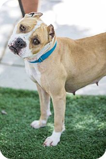 American Pit Bull Terrier Mix Dog for adoption in Lincoln, California - Truffles-ADOPTION SPONSORED!!