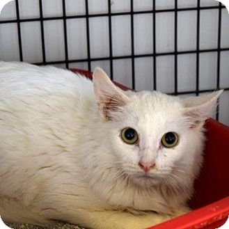 Domestic Longhair Cat for adoption in Denver, Colorado - Thor