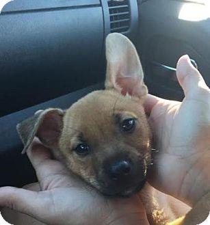 Shepherd (Unknown Type) Mix Puppy for adoption in Homestead, Florida - Xena