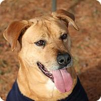 Golden Retriever/Pit Bull Terrier Mix Dog for adoption in Front Royal, Virginia - Finn