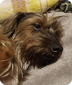 Yorkie, Yorkshire Terrier/Dachshund Mix Dog for adoption in Lorain, Ohio - Maci