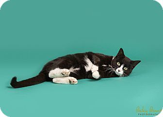 Domestic Shorthair Cat for adoption in Sauk Rapids, Minnesota - Midnight