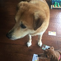 Shiba Inu/Chow Chow Mix Dog for adoption in Lakeland, Florida - Allie