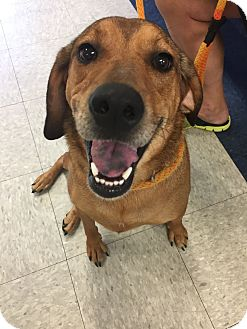 Coonhound (Unknown Type) Mix Dog for adoption in Hermitage, Tennessee - Sadie Mae