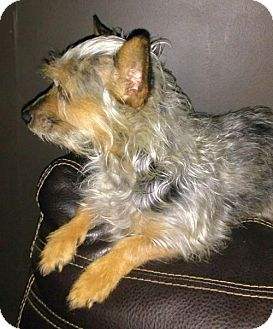 Yorkie, Yorkshire Terrier Mix Dog for adoption in Grayson, Louisiana - Chloe