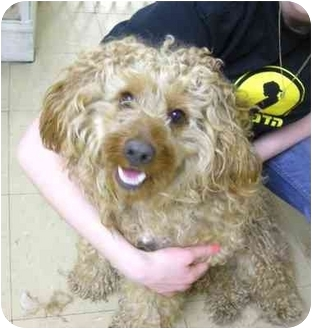 Cockapoo Dog for adoption in Brooklyn, New York - Curly