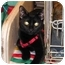 Photo 1 - Domestic Shorthair Cat for adoption in Laurel, Maryland - Cutter